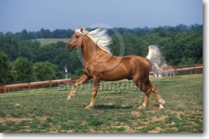kentucky-mountain-saddle-horse.jpg