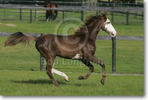tenesse-walking-horse.jpg